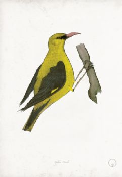 Golden Oriole - artist signed print